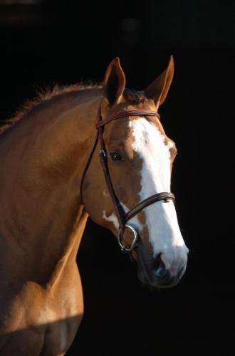 Immediate Credit Card >> SES Stallion: Ogano Sitte, Belgian/BWP/sBs, Frozen Semen ...